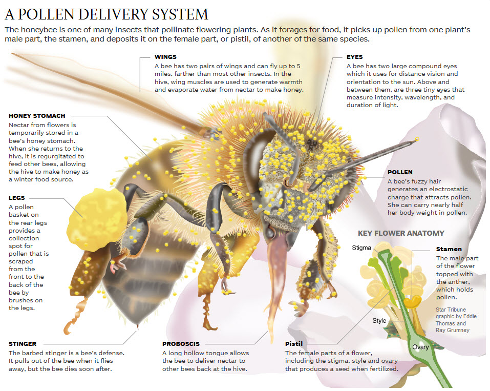 BEE FACTS - Ferreira Apiary - photo#27